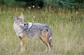 target augusta ga black friday nuisance coyote new target at southeastern wildlife exposition