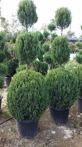 Topiarys Topiary Woodlands Wholesale Nursery