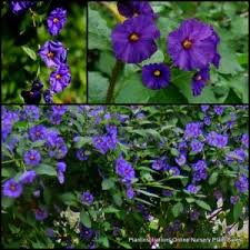 Blue Flower Vine - 3700 best vines images on pinterest vines garden ideas and