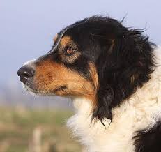 australian shepherd vocal how common is aggression in australian shepherds