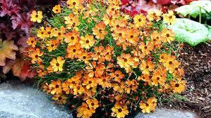 growing perennial flowers indoors small perennial flower garden
