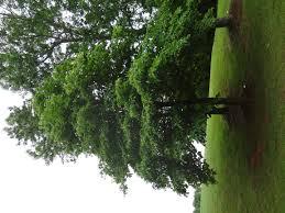 school tree id s trees greenville