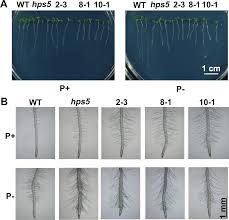 plos genetics the molecular mechanism of ethylene mediated root