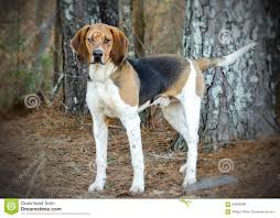bluetick coonhound rabbit hunting tennesee treeing walker coonhound stock photo image 84800889