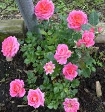welland snaps u2013 it u0027s rose month in the rose city