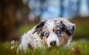 australian shepherd eyesight australian shepherd dog breeds information