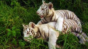 swfl tv white tiger cubs at kowiachobee preserve