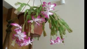 schlumbergera truncata thanksgiving cactus in bloom
