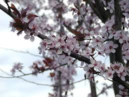 how to care for a flowering plum tree garden guides