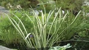 Sweet Flag Herb Bloomsz Marginal Bog Plant Acorus Calamus Variegatus Root Youtube