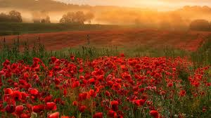 poppies flowers flowers sky fog poppies flowers field sunset flower hd iphone