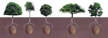 cremation tree burial pods may replace and will use bodies to fertilize