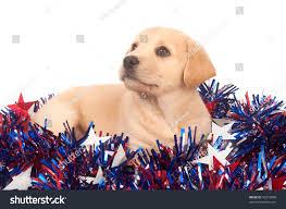 yellow labrador beagle mix puppy stock photo 50218840