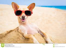 Cool Dog Meme - cool dog at the beach stock photo 45231770 megapixl