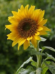 sunflower pictures sunflower black seed green cover seed