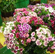 Sweet William Flowers Flower Sweet William Promotion Shop For Promotional Flower Sweet