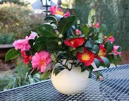 camellia flowers cutting camellia flowers for floral arrangements