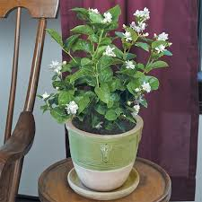 Fragrant Jasmine Plant - jasmine u0027flore plena u0027 jasminum sambac unique double blooms often