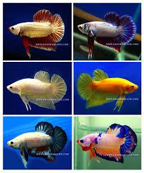 betta fish farm for sale and aquarium fish exporter buy betta