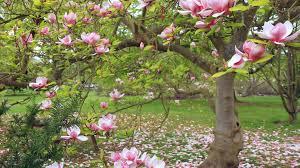 magnolia tag wallpapers branches tree magnolia flower bush summer
