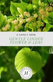 linden flower a family herb gentle linden flower and leaf herbal academy