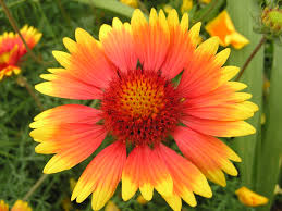 flowers and plants sunshine red yellow petals flowers and plants wallpaper