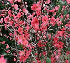 25 best chaenomeles ideas on pinterest coral co uk flower