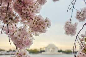 warm winter could mean early bloom for dc u0027s cherry blossoms noaa