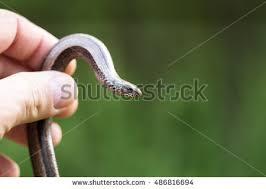Plains Blind Snake Blind Snake Stock Images Royalty Free Images U0026 Vectors Shutterstock