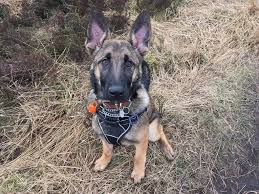 9 month old belgian malinois belgian malinois 6 month old puppy in brighouse west