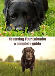 neutering your labrador the labrador site