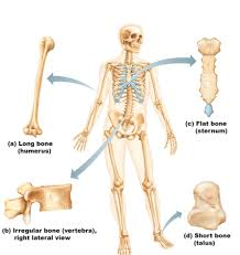 Which Cell Helps In Movement Of Bones Function And Classification Of Bones Anatomy U0026 Physiology