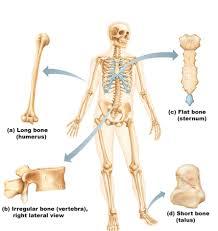 Normal Bone Anatomy And Physiology Osteoporosis Anatomy U0026 Physiology