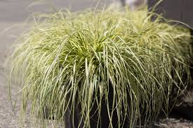 mahoney s garden center using ornamental grasses in the landscape
