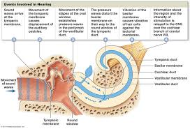 Inner Ear Anatomy And Physiology The Special Senses