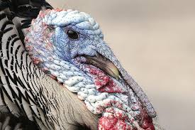 turkey facts and trivia