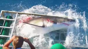 Florida Shark Attack Map News Famed Great White Shark Lydia Strolls Into Canadian Waters