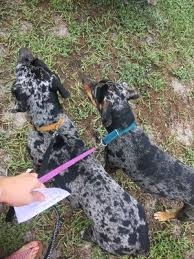bluetick coonhound in florida found dog in new port richey fl us 34654 fido finder