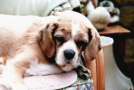 Comfortable Dog Tips Keep Your Aging Dog Comfy U0026 Healthy Essentially Dogs