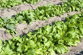 types of drought tolerant vegetables u2013 tips on growing low water