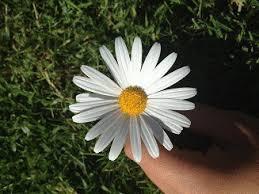 Daisy The Flower - flowers 101