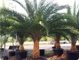 sylvester palm tree sale sylvester palm central florida