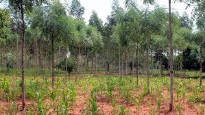tree species komaza