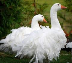 10 popular domestic geese and their predators the poultry guide