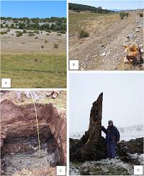 occurrence of continuous holocene pinewoods pinus sylvestris l