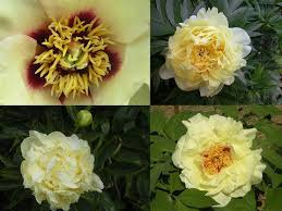 yellow peonies yellow peonies from the and into the garden cricket hill
