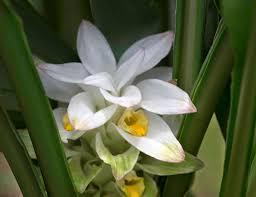 native hawaiian plants for sale ōlena u2013 hawaiian for turmeric hawaii horticulture