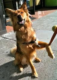 belgian sheepdog golden retriever mix golden retriever noble loyal companions german shepherds
