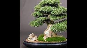 pictures of different types of bonsai trees youtube