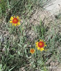 native new mexico plants a wandering botanist garden flowers gardening with native